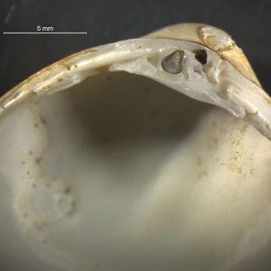 Rangia cuneata -simpukka, kuori