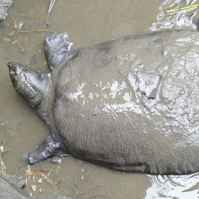 Shanghain pehmeäkuorinen kilpikonna