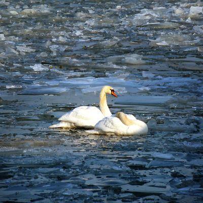 Svanar vid isigt vatten.