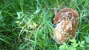 Rådjurskid sover i gräset i Kyrkslätt.
