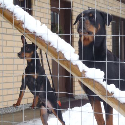 Kaksi koiraa seisoo aidan edessä. Kolmas koira on taka-alalla.