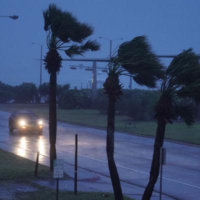 En bil kör i regnet och blåsten på en blöt väg med palmer som böjer sig i vinden i Corpus Christi, Texas, den 25 augusti 2017 medan orkanen Harvey närmar sig.