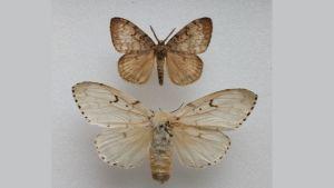 En bild på två fjärilar av arten lövskogsnunna, den övre är en hane och den undre en hona.