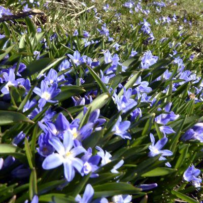 Blommande scilla på Drumsö i Helsingfors.