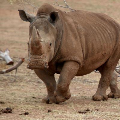 En noshörning med unge fotograferad i en djurpark i Australien.