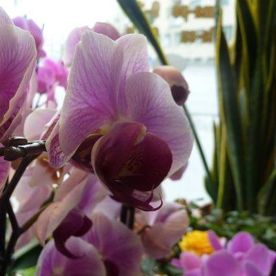 Orkidea kasvattaa suosiotaan myös valmistujaiskukkana.