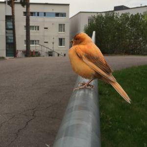 Matti Gädda fotograferade denna fågel som visade sig vara ganska tam och verkade ganska bortkommen i naturen. Är det en förrymd kanariefågel? Kommer den att klara sommaren i naturen?  Vad kan den äta?
