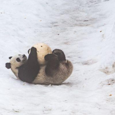Puuartisti-Lumi-Pandapallot-Panda-Balls-Valokuvaaja-Julia-Reijonen-8.jpg