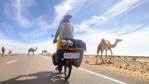 En kvinna som cyklar bland kameler