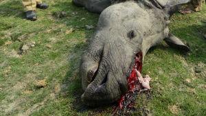 död noshörning