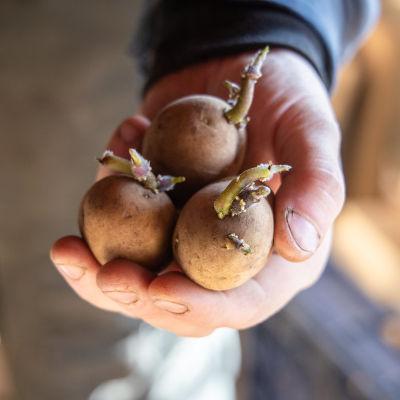 Siemenperunaa perunanviljelijän kädessä.