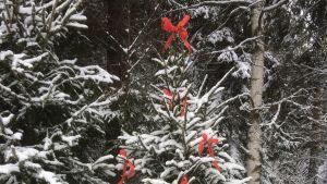 En snöprydd gran dekorerad med röda fiberband.