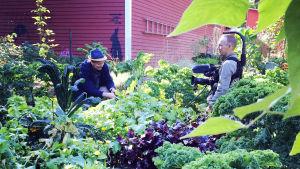 Owe Salmela och Esa Saari i trädgården på Strömsö.