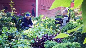 Owe Salmela ja Esa Saari Strömsön puutarhassa.