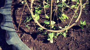 ungplantor odlade i traktordäck