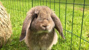 Jenny Ervast kanin Hubert.