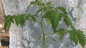 En tomatplanta.
