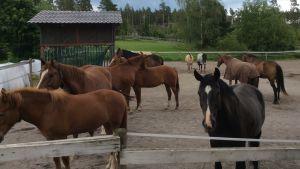 Ett tiotal hästar står i en hage.