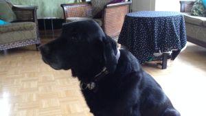 Ledarhunden Duffe