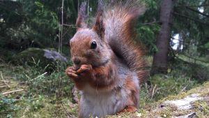 Kuvassa orava syö pähkinöitä