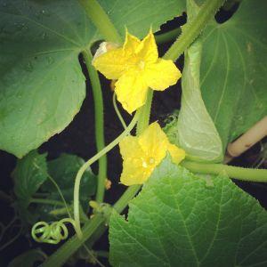 frilandsgurkans blomma