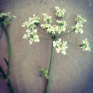 Närbild på blomman hundkäx
