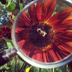 Mehiläinen punaisessa auringonkukassa suurennuslasin läpi katsottuna