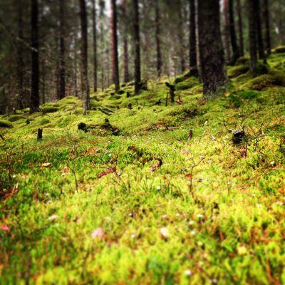 Sammalta metsässä
