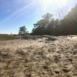 Sandstrand, havet syns inte men i bakgrunden ser man tallskog. Solen skiner klart.