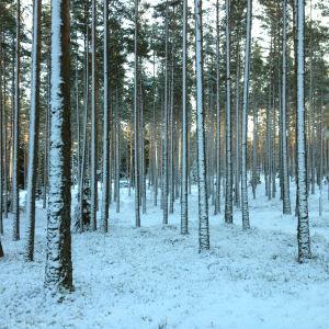 Höga tallar i vinterskog.