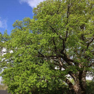 En ek med gröna blad