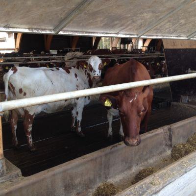 Kor vid Åsbro Mjölk i Kronoby
