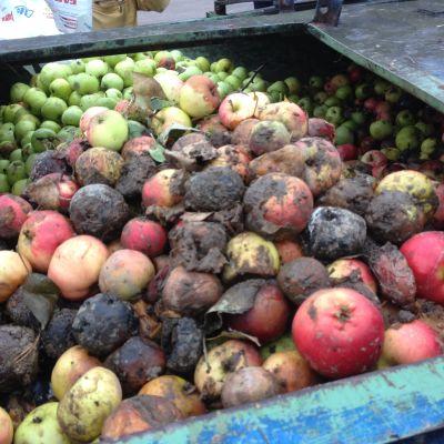 Ruttnande äpplen samlas in