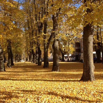 Lindar i park i Lovisa
