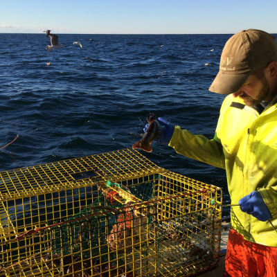 Hummerfiske i Mainebukten