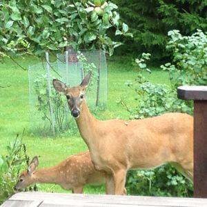en hjorthona och hennes kid står invid en altan och äter trädgårdsväxter.