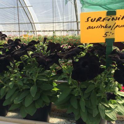 Mustia petunioita kauppapuutarhalla.