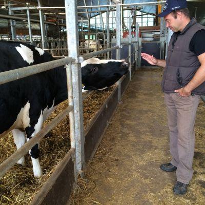 Lehmä ja isäntä lypsyrobottinavetassa