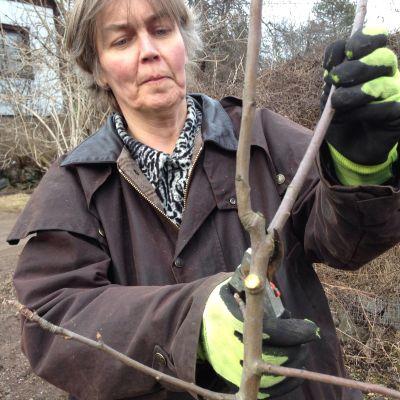 Marjaana Meuronen leikkaa omenapuuta.