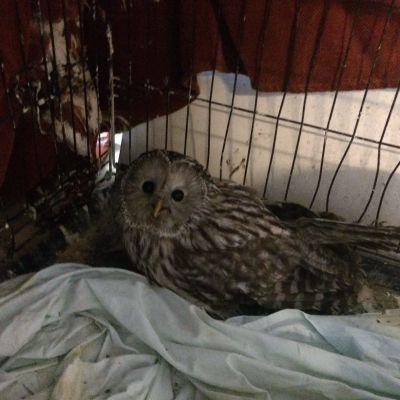 Jarmo Lautamäen hoidossa oleva viirupöllö häkissään.