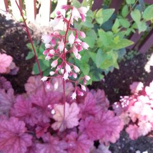 Blommande, ljust rosa alunrot med vinröda blad