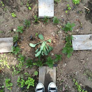 ungplantor i potager