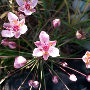 Blommande rosa blomvass
