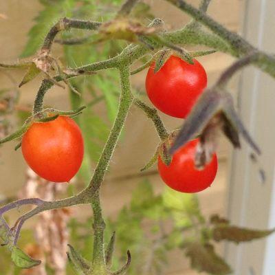 tre körsbärstomater på en tomatplanta