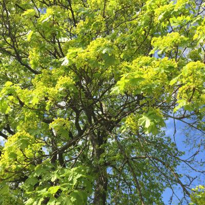 Träd med gula och ljusgröna knoppar och blad i maj.