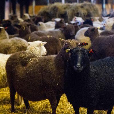 Lampaita Jokilaakson lammastilalla