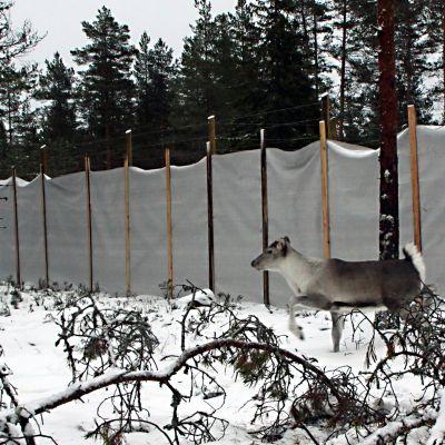 Metsäpeuranvasa Lauhanvuoren totutustarhassa.
