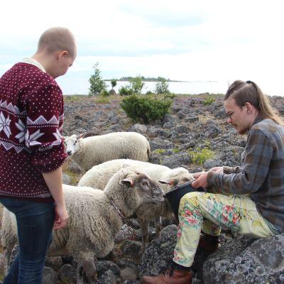 Lammaspaimenet ruokkivat lampaita Pensaskarin saarella.