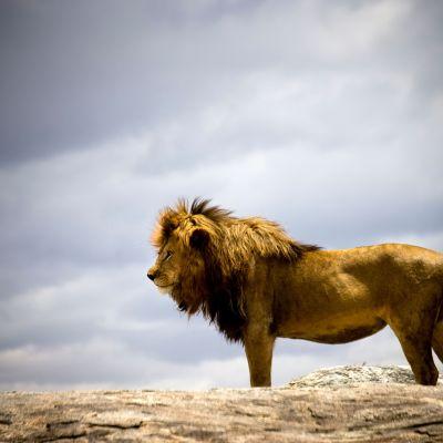 Urosleijona Serengetin kansallispuistossa Tansaniassa Itä-Afrikassa. Arkistokuva.