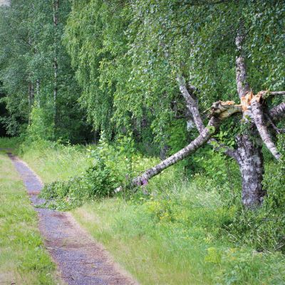 Päivö-myrskyn kaatama puu Nerkoolla Lapinlahdella.